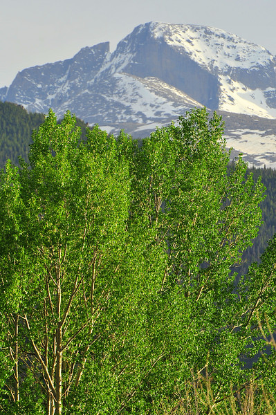 New green leaves erupt from tree in Bond Park as spring snow hangs on to Longs Peak on Tuesday. Rivers will continue to rise as snow melts and nourishes the trees.