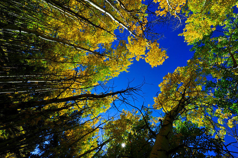 Golden aspen leaves contrast beautifully against the afternoon sky in a grove near Fish Creek Road. Autumn color is near peak around Estes Park.