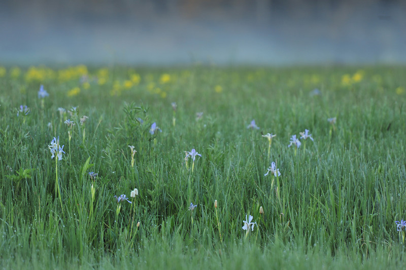 Wild irises and other flowers poke out of the dew-covered grasses in Moraine Park on Wednesday.