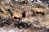 Several large bulls graze along the slope above Fall River Road near the Rocky Mountain National Park's entrence on Sunday. The large animals attracted lots of attention from visitors driving into the park.