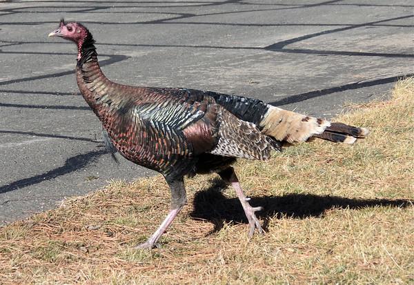 A turkey prepares to cross Fall River Road near Rocky Mountain National Park.