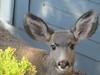 Yearling deer peeks in the window on Devon Drive