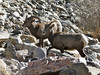 Young bighorn ram closely guards a ewe in the Big Thompson Canyon