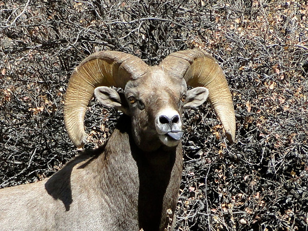 Bighorn Ram with a black tongue and pre-orbital glands on the anterior corner of each eye,  on a hillside in the Big Thompson Canyon