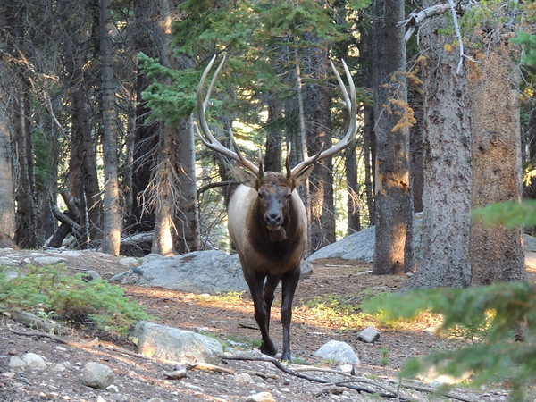 A large bull elk took advantage of the Emerald Lake Trail as he moved through the forest.