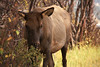 A cow elk browses near a trail in Estes Park.