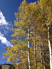 Golden aspen stand out against a blue sky Monday in Rock Mountain National Park.