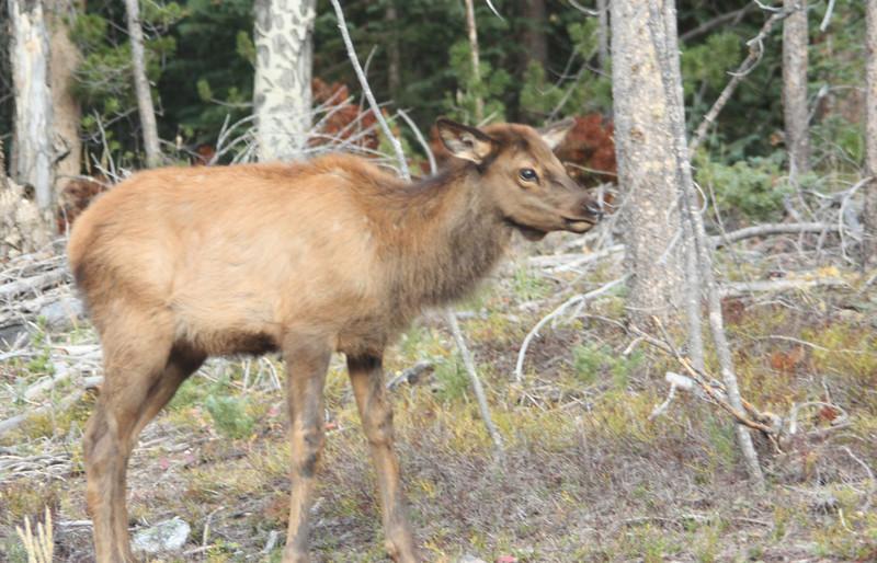 An elk calf approaches a trail near Grand Lake.