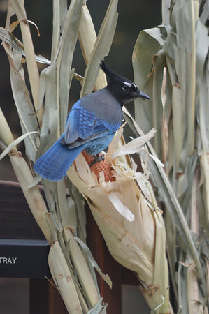 A Stellar's jay picks at an autumn display near Fall River Road on Wednesday. The bird, along with fellow pilferers, were snatching the corn kernels from the decoration.