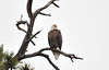 Walt Hester | Trail Gazette<br /> A bald eagle servays Lake Estes on Friday morning. The iconic birds eat primarily fish, easy pickings in the lake.