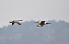 Walt Hester | Trail Gazette<br /> Canada geese cruise through gray skies over Lake Estes last week. While some clouds could continue to float over Estes Park, more sunshine is expected over this weekend.