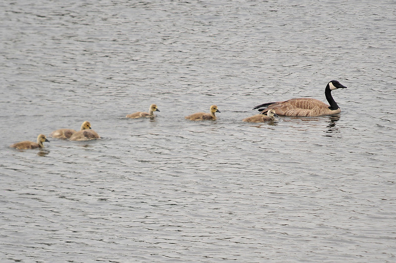 Walt Hester | Trail Gazette<br /> A goose floats across Lake Estes with a cadre of goslings in tow. The lake is live with the little yellow hachlings.