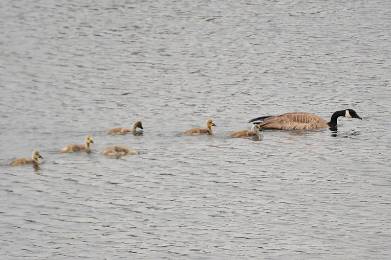 Walt Hester | Trail Gazette<br /> A floatilla of goslings fallow a goose across Lake Estes over the weekend. Even birds will become aggressive if the perceive a threat to their you, so be careful and be aware of the birds.