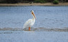 Walt Hester | Trail Gazette<br /> A pelican stands in a shallow spot in Lake Estes on Wednesday. The large birds are usually found in coastal waters, but migrate through Colorado in the spring.