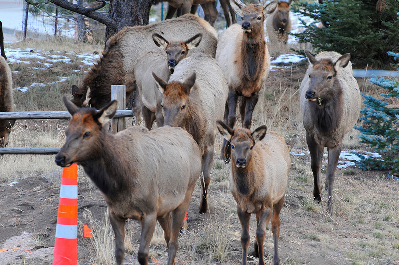 Walt Hester | Trail Gazette<br /> Elk form a line to cross Fish Creek Road near Brodie Avenue on Tuesday.