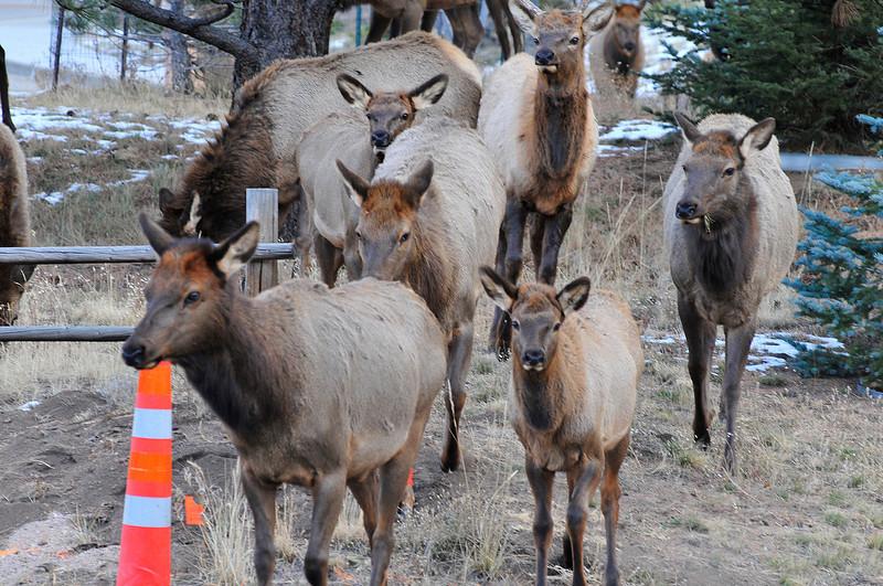 Walt Hester | Trail Gazette<br /> Elk form a line to cross Fish Creek Road near Brodie Avenue on Tuesday.