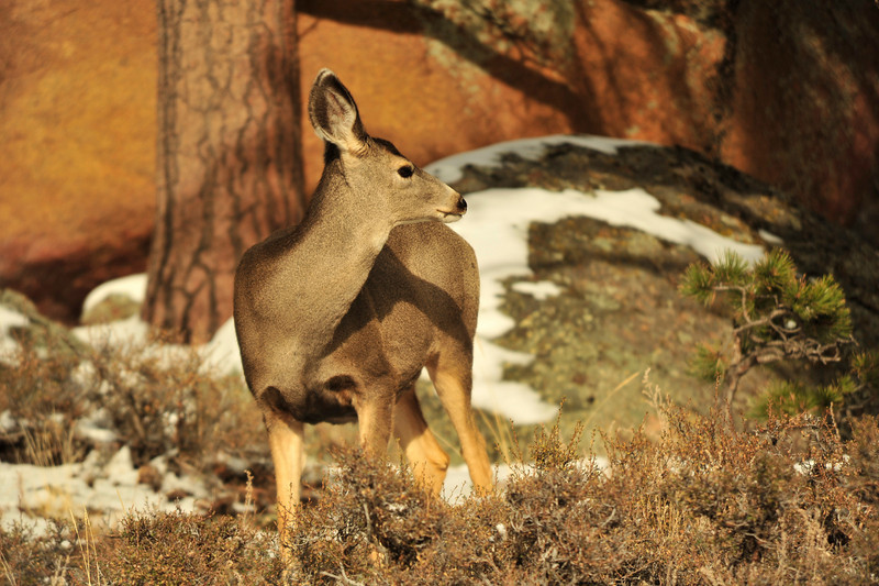 Walt Hester | Trail-Gazette<br /> A deer watches other herd members bound about the mountainside near Deer Ridge Junction in the national park on Wednesday.