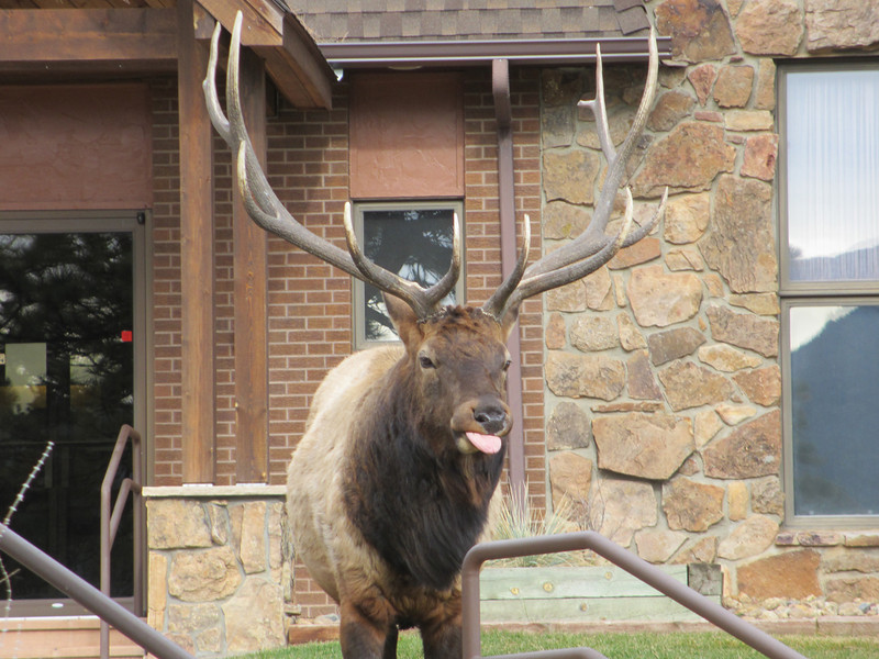 A 6x6 bull elk lets his feelings be known to the photographers taking his picture Saturday morning at Mountain View Fellowship Church, Highway 7 at Peak View Drive.