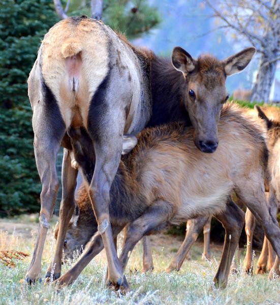 A not-so-small elk calf feeds near Twin Owls north of Estes Park.