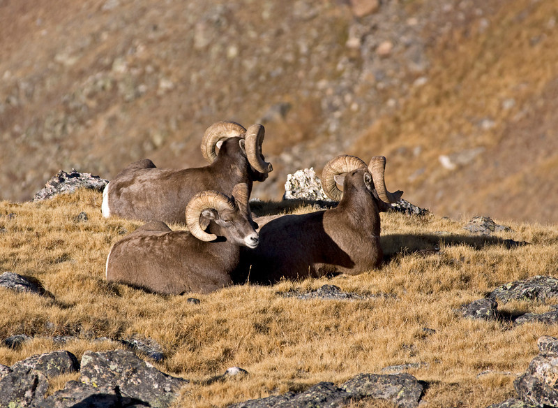 A trio of bighorn rams relax on the tundra near Trail Ridge Road in Rocky Mountain National Park.