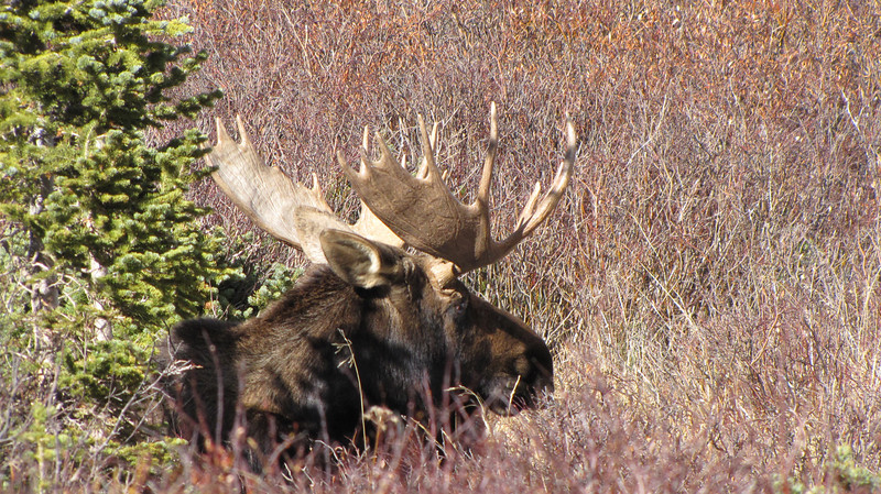 A bull moose lounges south of Allenspark.