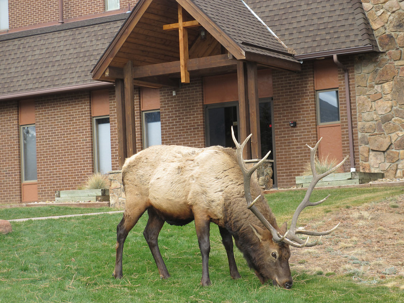 A 6x6 Bull Elk grazes Saturday morning, Nov. 3,  in front of Mountain View Fellowship Church, Highway 7 at Peak View Drive.