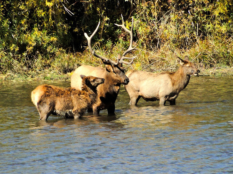 A trio of elk cool off in the water.
