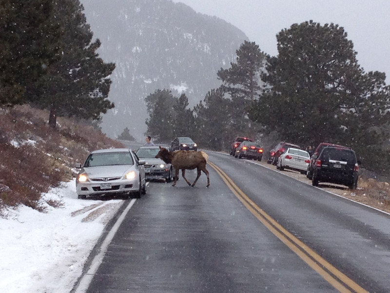 28ep rocky elk.jpg Elk stop traffic in Trail Ridge Road near the Hidden Valley snowplay area in Rocky Mountain National Park.