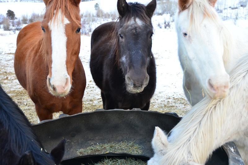 Horses belonging to the Cheley Camp gather around their feed bunk in the pasture near Fish Creek Road.