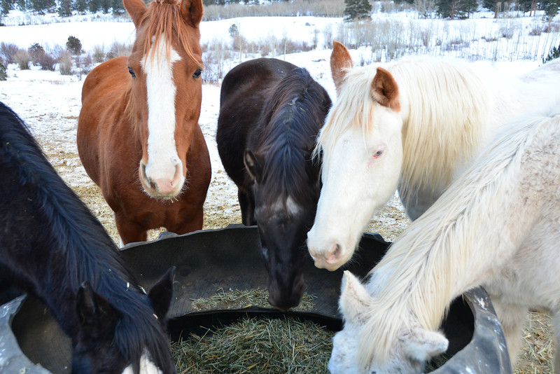 Cheley Camp horses gather round a feed bin near Fish Creek Road Thursday afternoon under overcast skies.