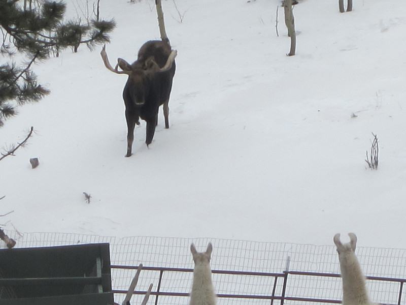 moose3.jpg Close encounters of a magical kind -- a bull moose approaches llamas on Christmas Eve in Allenspark.