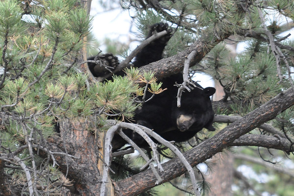 This  lazy bruin relaxed for a day in a tree along Moraine Avenue, just across from Trout Haven.