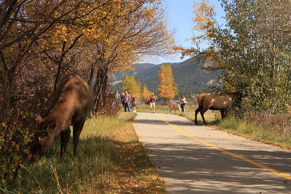 Elk move along the Lake Estes Trail in full view of walkers.