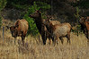 Walt Hester | Trail-Gazette<br /> A small elk herd waits to cross Fish Creek Road on Tuesday. With vegetation close to the road, traffic can be dangerous for both man and beast.