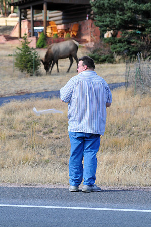 Walt Hester   Trail-Gazette<br /> A visitor checks traffic and photo angles of a herd of elk along Big Thompson Avenue on Tuesday.