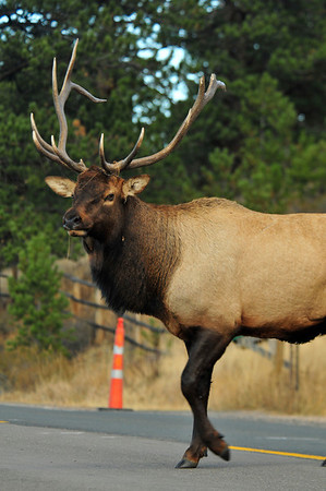 Walt Hester | Trail-Gazette<br /> A bull saunters across Fish Creek Road on Tuesday with some kind of string rapped around his antlers.