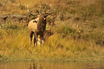 Photo by Walt Hester A bull elk announces his presents and dominance along Lake stes on Saturday. During the rut, bulls can be unpredictable and dangerous. Use caution while around these big, fast creatures.