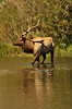 Photo by Walt Hester<br /> A big bull elk wades through the shallows of Lake Estes along Fish Creek Road on Saturday. With recent hot weather, elk are often seen cooling of in the lake's shallow water.