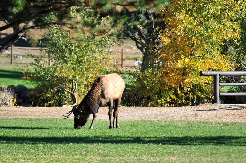Photo by Walt Hester<br /> A bull elk tries to consume some green energy on the Lake Estes nine-whole golf course on Thursday. The Recreation and Parks district has closed the golf course to both golfers and elk watchers as bulls have been aggressive this rutting season.