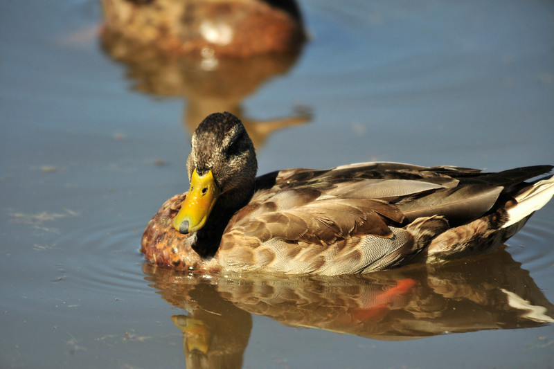 Photo by Walt Hester<br /> A female mallard paddles around Lake Estes on Saturday.