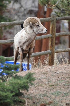 Walt Hester | Trail Gazette<br /> A bighorn ram watches over his small flock of ewes and yearlings along Fall River Road on Friday.