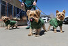 Walt Hester | Trail Gazette<br /> A trio of Yorkies, from left, Duke, Scooter and Chris Cringle, enjoys bright sunshine on Monday with Leta Nefzger.