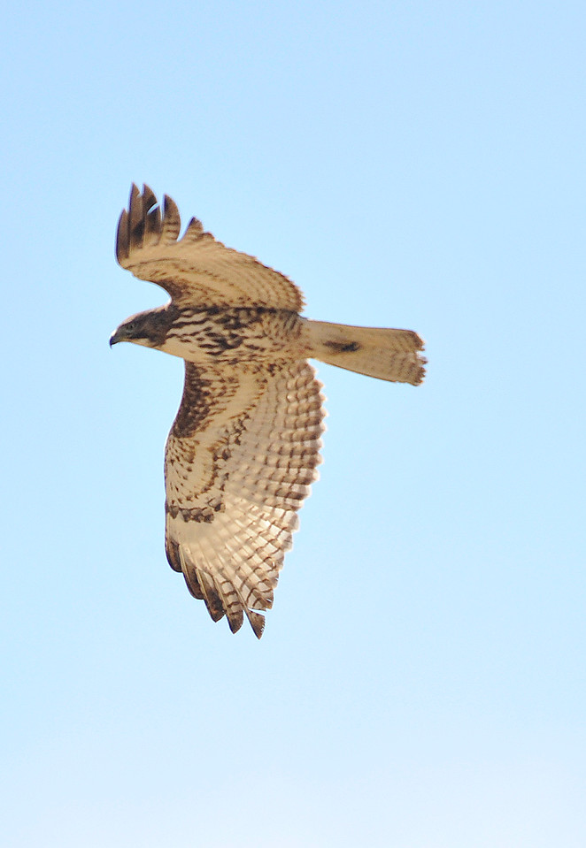 Walt Hester | Trail Gazette<br /> A hawk swoops over Stanley Park on Tuesday. The raptors have amazing sight, enabling them to hunt for tiny mice and voles from the air.