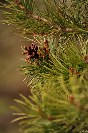 Walt Hester | Trail Gazette<br /> A pine cone, evidence of the next generation, pokes out from needles on Wednesday. Quite often, the cones won't release seeds until exposed to extream heat, such as from a wildfire.