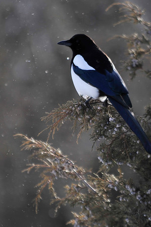 Walt Hester | Trail-Gazette<br /> A magpie contrasts against snow and evrgreens at the CubLake Trailhead on Wednesday. More snow is expected this weekend.
