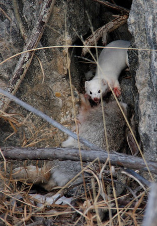 A weasel dragging its prey out of sight.
