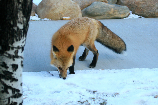 A red fox looking for breakfast in the Fall River Rd area,