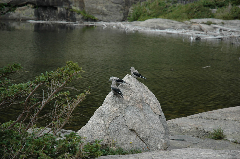 A number of Clark's Nutcracker perch on a rock in Mills Lake.