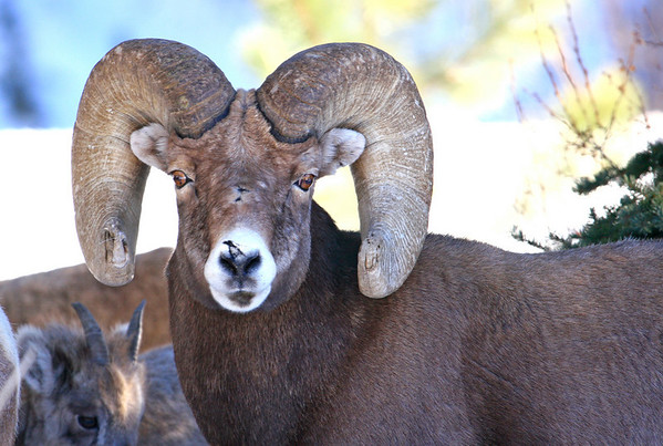 a bighorn ram was a shutter stopper along the road in the Fall River road area.