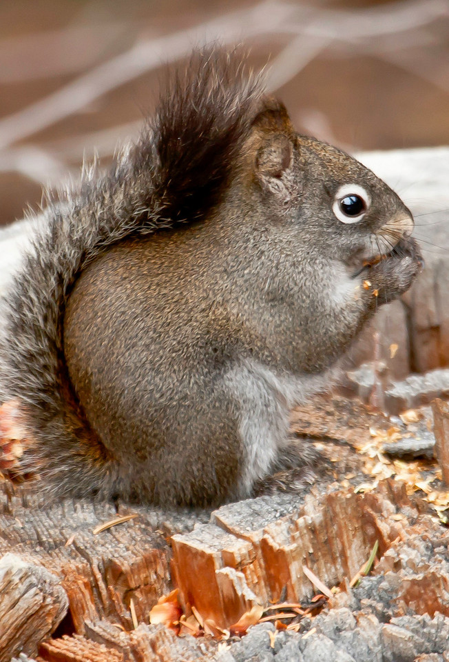 Fast Eddie, resident pine squirrel who lives in the Fall River Road area,